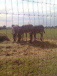 sophie sharlet rosie jack james - Zebra (3 years)