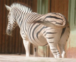 [Touroparc] Un beau Zèbre - Zebra