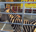 Zurie - Zebra (3 years)