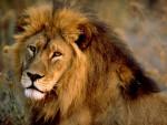 Moumou - Male Lion (11 months)