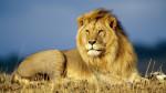 leon - Male Lion (5 years)