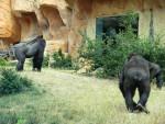 gorille -