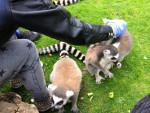 lemurs -