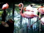 flamingo -
