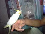 Apple y Gorupo - Male Bird (11 months)