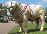 Taureau champion - Male Cow (2 years)