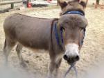 Lulu - Male Donkey (7 years)