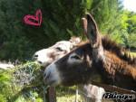 anatole - Male Donkey (10 years)