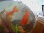 bob - Male Fish (1 year)