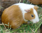 Sugus - Male Guinea pig (4 months)