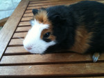 PUPUCE - Guinea pig (4 years)