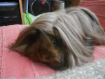 Kira - Long haired Guinea pig (1 year)