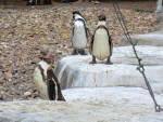 manchot - Penguin