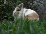 karot - Male Rabbit (1 year)