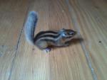 Alvin - Male Rat