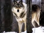 cros-blanc - Male Wolf (8 months)